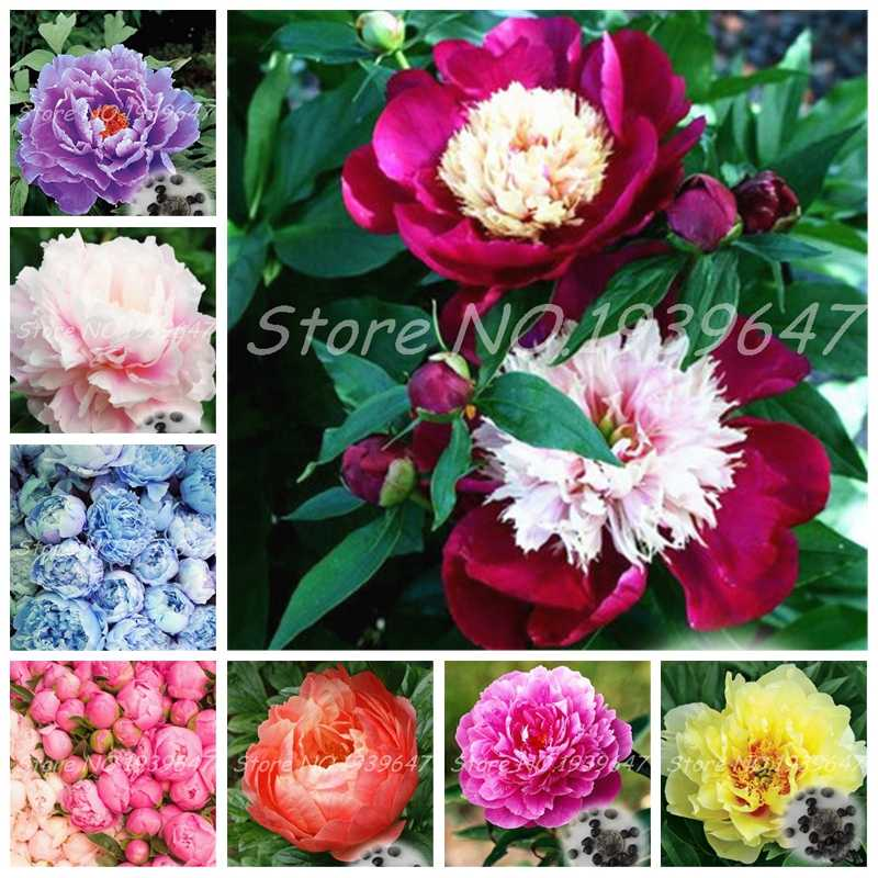 10 pcs/ bag Mixed Bonsai Peony Flower Perennial Peony Flowers Indoor Home Garden Potted Flore Plant Chinese Paeonia Suffruticosa