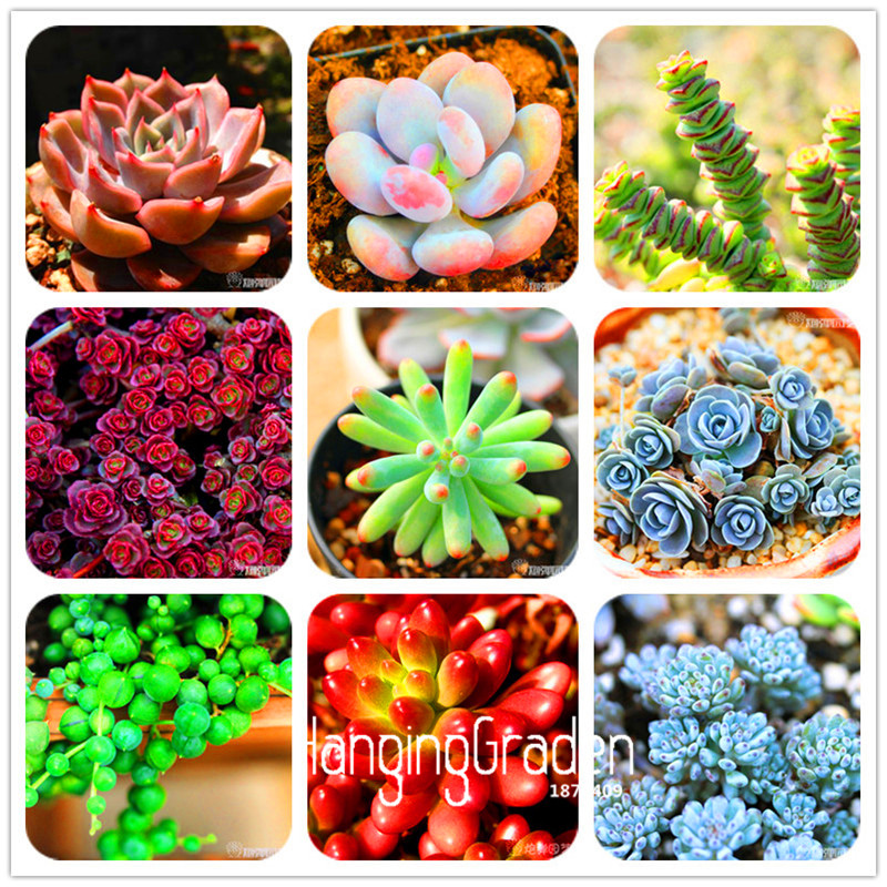 Big Promotion 10pcs Bag 99 Kinds to choose Lithops Seeds Succulents Seeds Pseudotruncatella Office font b