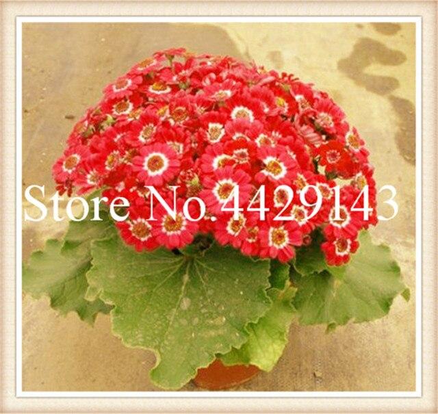 100 pz Fioristi Cineraria Bonsai In Vaso Fiore flores Per La Casa Decorazione del Giardino di Impianto è Semplice Molto Facile Crescere