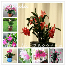 Lunar New Year flower seed 100seeds/bag schlumbergera colorful beautiful flower blue schlumbergera listed mix color easy to grow(China)