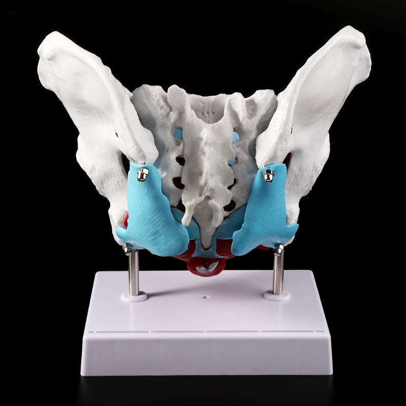 Image 4 - 2019 NEW Female Pelvis Pelvic Floor Muscle Model Uterus Ovary Muscle Teaching Resources Educational Supplies Removable-in Medical Science from Office & School Supplies