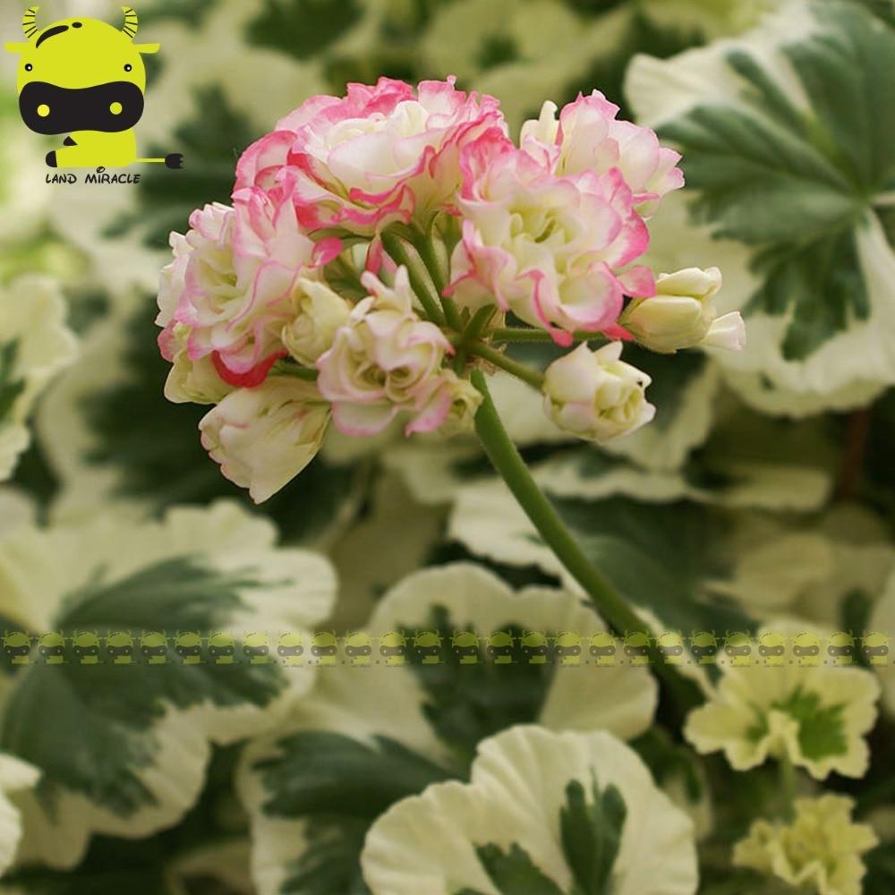5 Seedspack White With Pink Edge Appleblossom Rosebud Pelargonium
