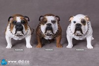 AS002 1/6 British Bulldog 1/6 Animal Accessories Props for 12inch Collectible Action Figures DIY