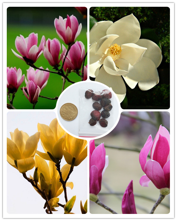 Rare 10 pcs Dark Red Yulan Magnolia Grandiflora Flower Seeds for home garden DIY ornamental-plant Light Fragrant Garden Tree
