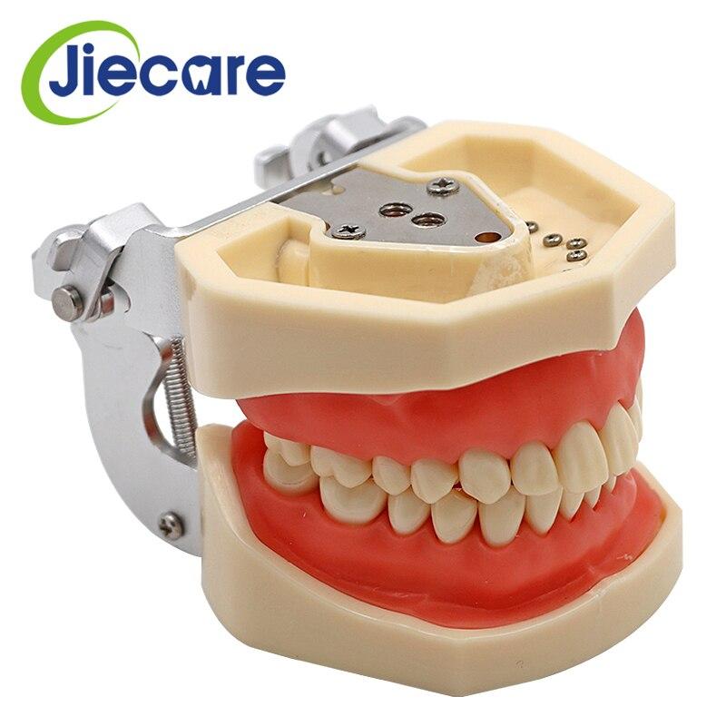 Amovible Dentaire Modèle Dentaire Dent Arrangement Pratique Modèle Avec 28 pièces Dentaires Granule et Vis D'enseignement Modèle de Simulation