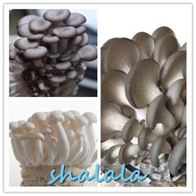 200 Pcs big Giant Mushroom bonsai Delicious Green Vegetable  Organic can eat in Garden and Courtyard