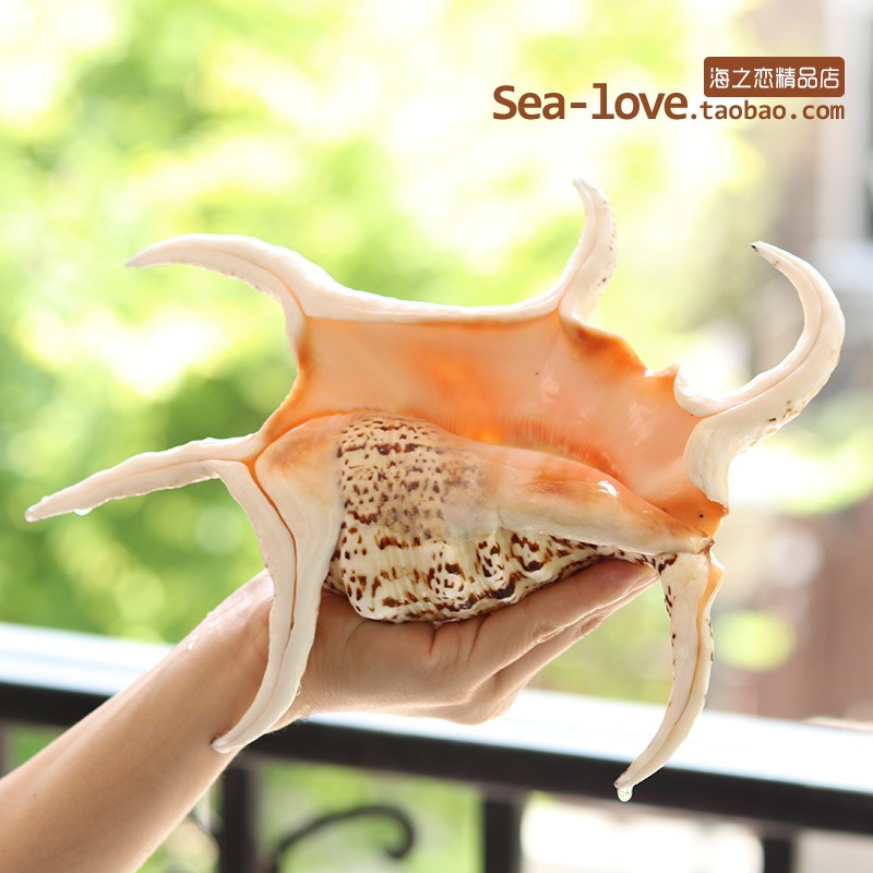 Hexagonal Conch Natural Shell Conch Creative Gift Mediterranean Home Decoration Tank Landscape Sea Snail Decoration Ornaments