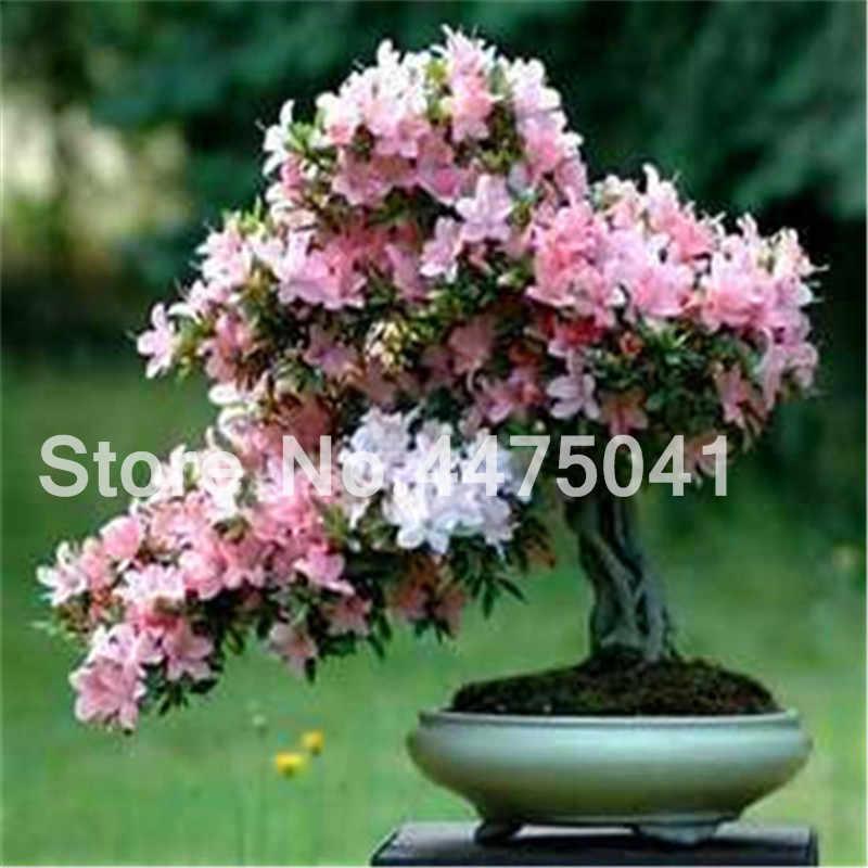120 قطعة/الحقيبة اليابانية أزاليا بونساي ، رودودندرون أزاليا ، زهرة الأزالية بونساي شجرة البذور حديقة المنزل سهل النمو
