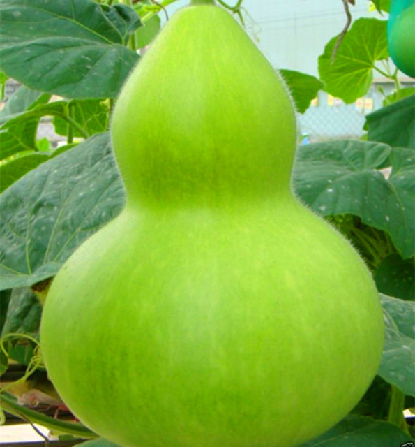 Giant Gourd Seed, Vegetable Seeds, 20pcs/pack