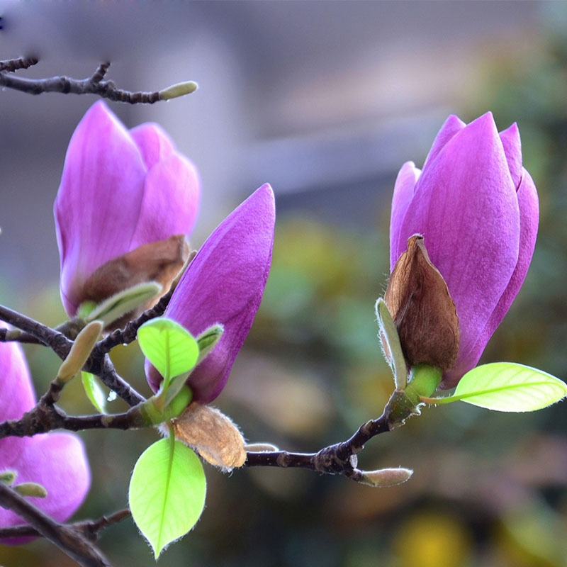 Popular Purple Magnolia Tree-Buy Cheap Purple Magnolia ...