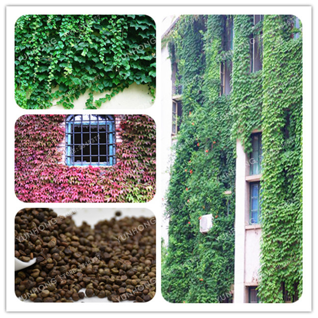 50 Pcs Benar Ivy Bonsai Outdoor Tanaman Merambat Ivy Hijau