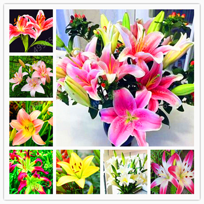 102pcs Lily Bulbs ,Lilium Bulbs, Flower Bulbs Perennials,Lelies Exotic Indoor Plants Flower Bulbs Garden Bulbos De Flores