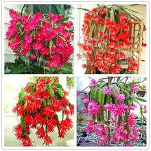 100Pcs/Bag Crab cactus bonsai plant garden flower plant orchid family decoration potted plant crab claw orchid plant