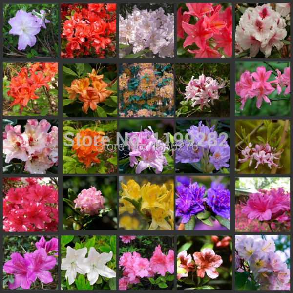 100 seeds 100 genuine mix color azaleas rhododendron