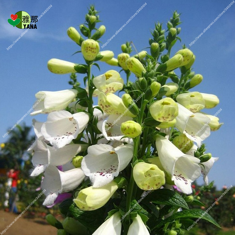 Image 5 - Golden Bell Flower Foxglove flower bonsai potted plants 30pcs/bag-in Bonsai from Home & Garden