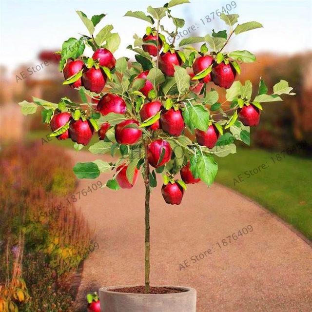 Online Shop 50pcs/bag Dwarf Apple Seeds Miniature Apple Tree Sweet ...