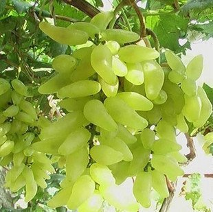 Rare Gold Finger Grapes Seeds, Fruit seeds, 30pcs/pack