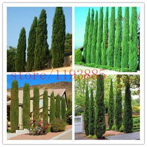 Tree seeds 100 pcs ITALIAN CYPRESS (Cupressus Sempervirens Stricta) seeds Home gardening