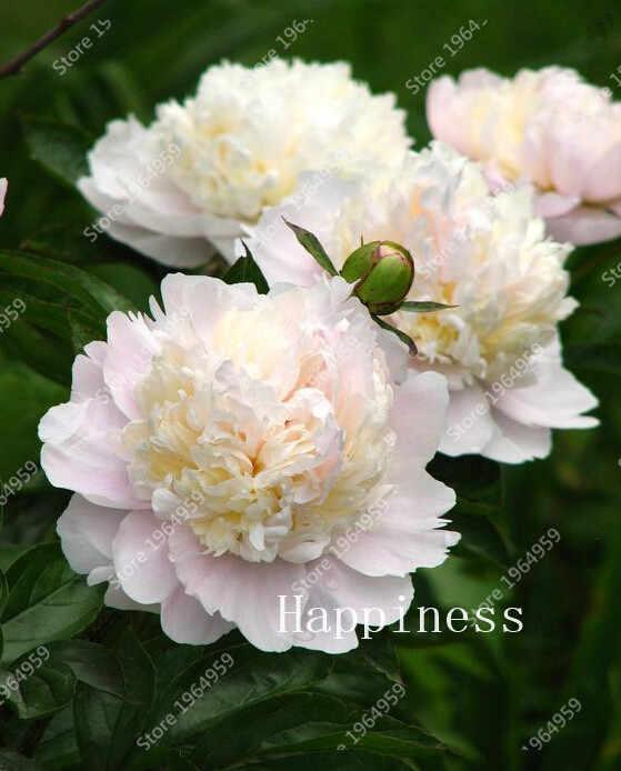 In Vendita! 5 Pcs Rosso Fiore di Peonia, Cinese Rosa Bonsai Multicolore Perenne Bella Bonsai Vasi di Piante Per La Casa Garden Facile Coltivare
