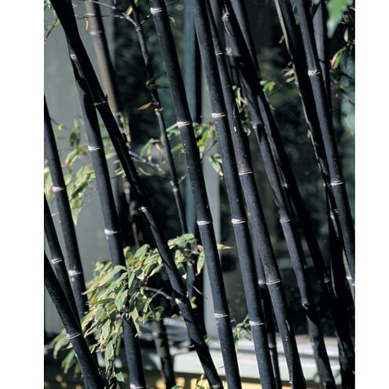 20 Bamboo Seeds Rare Giant Black Moso Bambu Professional Pack Bambusa Lako Tree For Home Garden In Bonsai From On