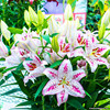 100pcs / bag 24 colors lily bonsai, cheap perfume lilies plant for Garden and home Mixing different varieties 3