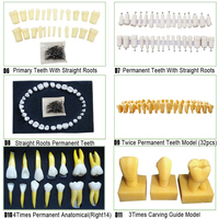 Dental Permanent Teeth Model Primary Teeth With Straight Roots for SF Studay model