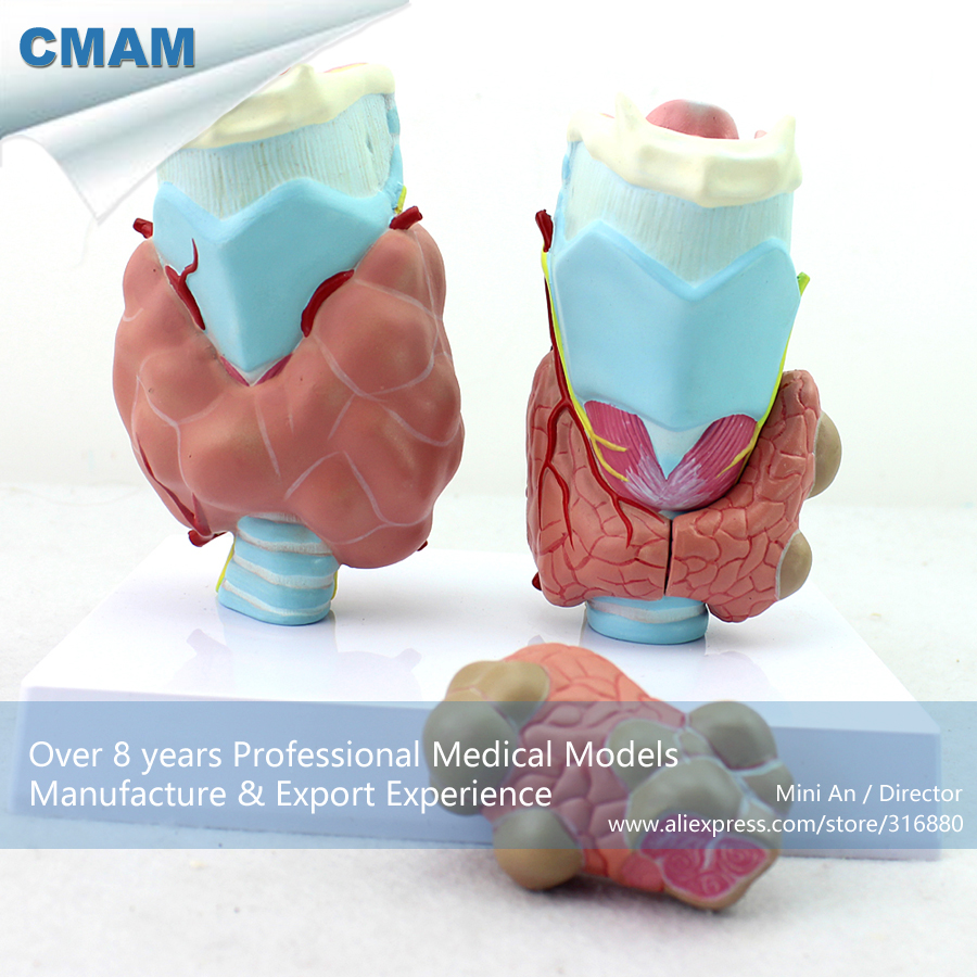 12550 CMAM-VISCERA13 Medical Science Anatomical Thyroid Diseases Model with 4 parts 12461 cmam anatomy23 breast cancer cross section training manikin model medical science educational teaching anatomical models