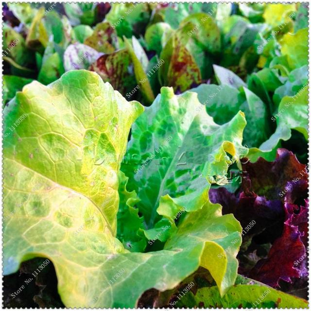 Mixed Lettuce Seeds Healthy Vegetable seeds home garden