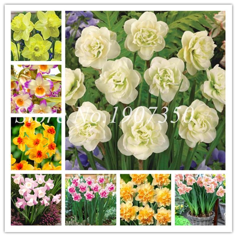 100 Pcs Bonsai Of Aquatic Plants Double Petals Mixed Daffodils Bonsai Narcissus Bonsai For Home & Garden