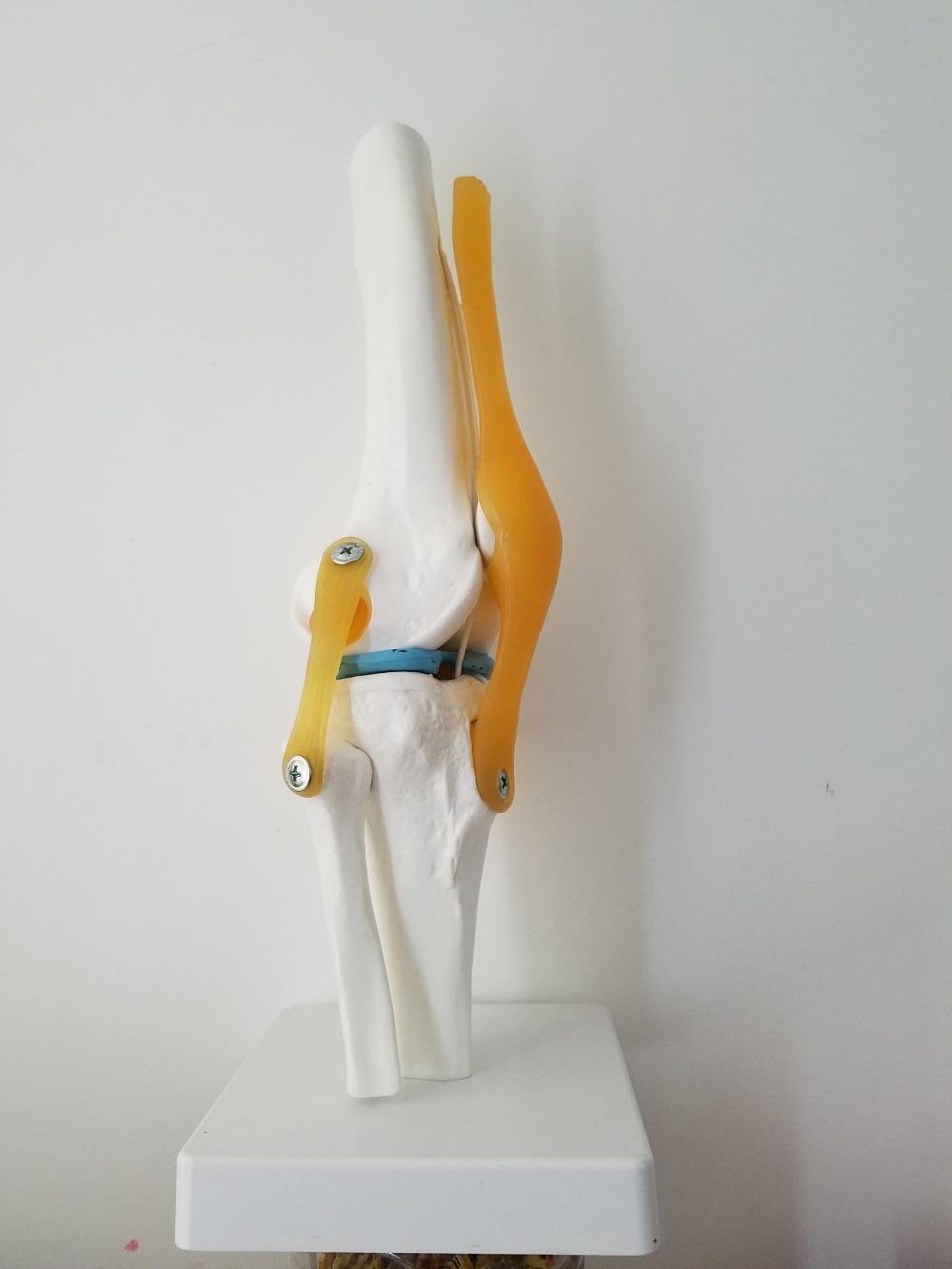 Menschliche Knie Anatomie Skeleton mit Bänder Joint Modell ...