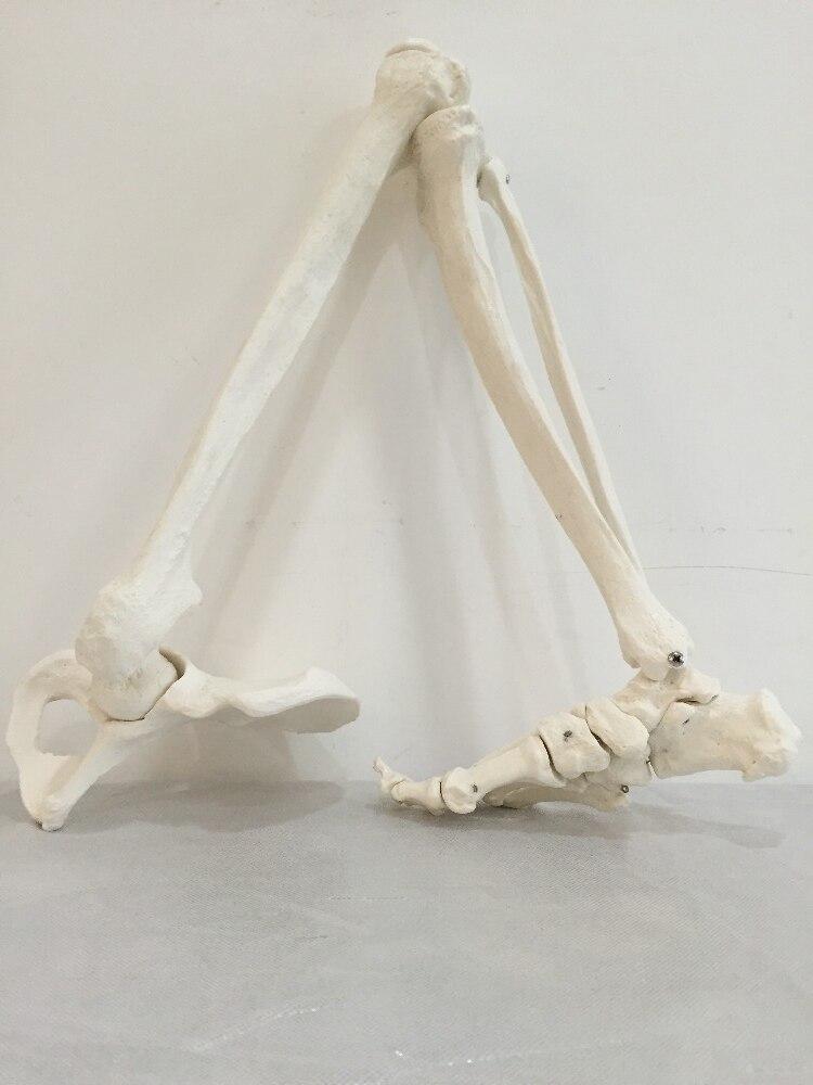 Fantastisch Untere Extremität Knochenanatomie Galerie - Anatomie Von ...