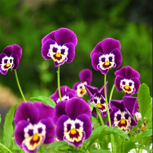 100seeds Potted Flowers Pansy seeds Balcony Bonsai Plant For Garden     100seeds Potted Flowers Pansy seeds Balcony Bonsai Plant For Garden   Home  Four Seasons planting Easy