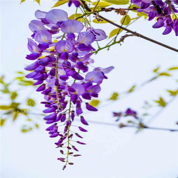 20 Pcs Bonsai Climbing Wisteria Flower Outdoor Courtyard Garden Flowers Japanese Wisteria Fresh Viable Amazing Climber