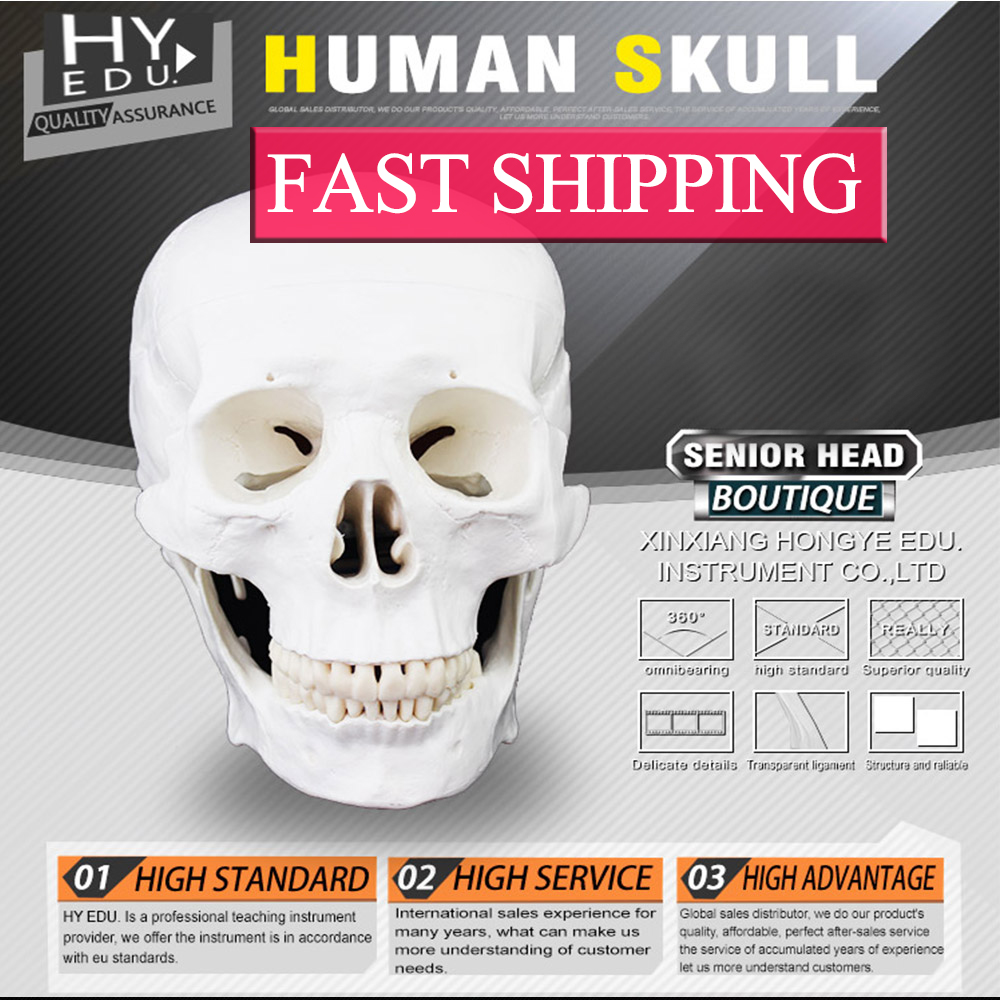 Anatomy Life size 3 parts  human skull model with 3 teeth removable clinical sports anatomy