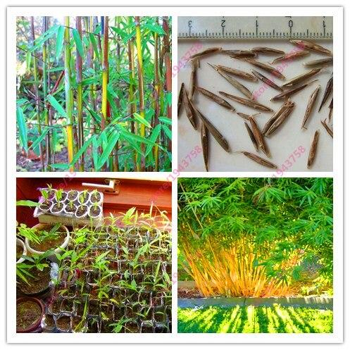 20 pcs bamboo seeds, decorative garden, herb planter bambu tree seeds for diy home garden plants