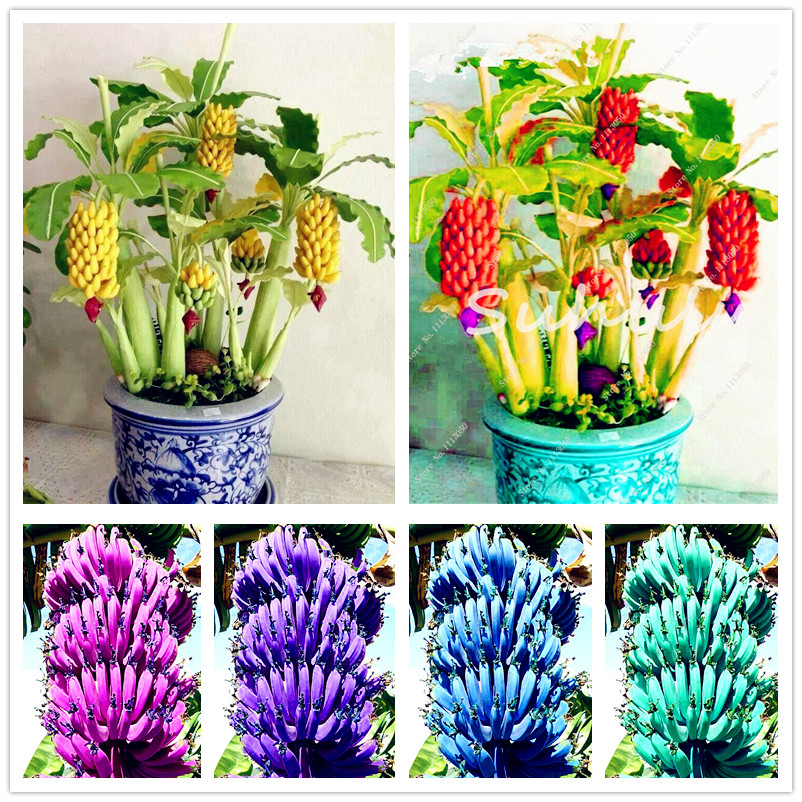 Us 0 15 75 Off Bonsai 100 Pcs Banana Plants Organic Fruit Tree Ornamental Plant Healthy And Nutritious Food Fruits Dwarf Banana For Home Garden In