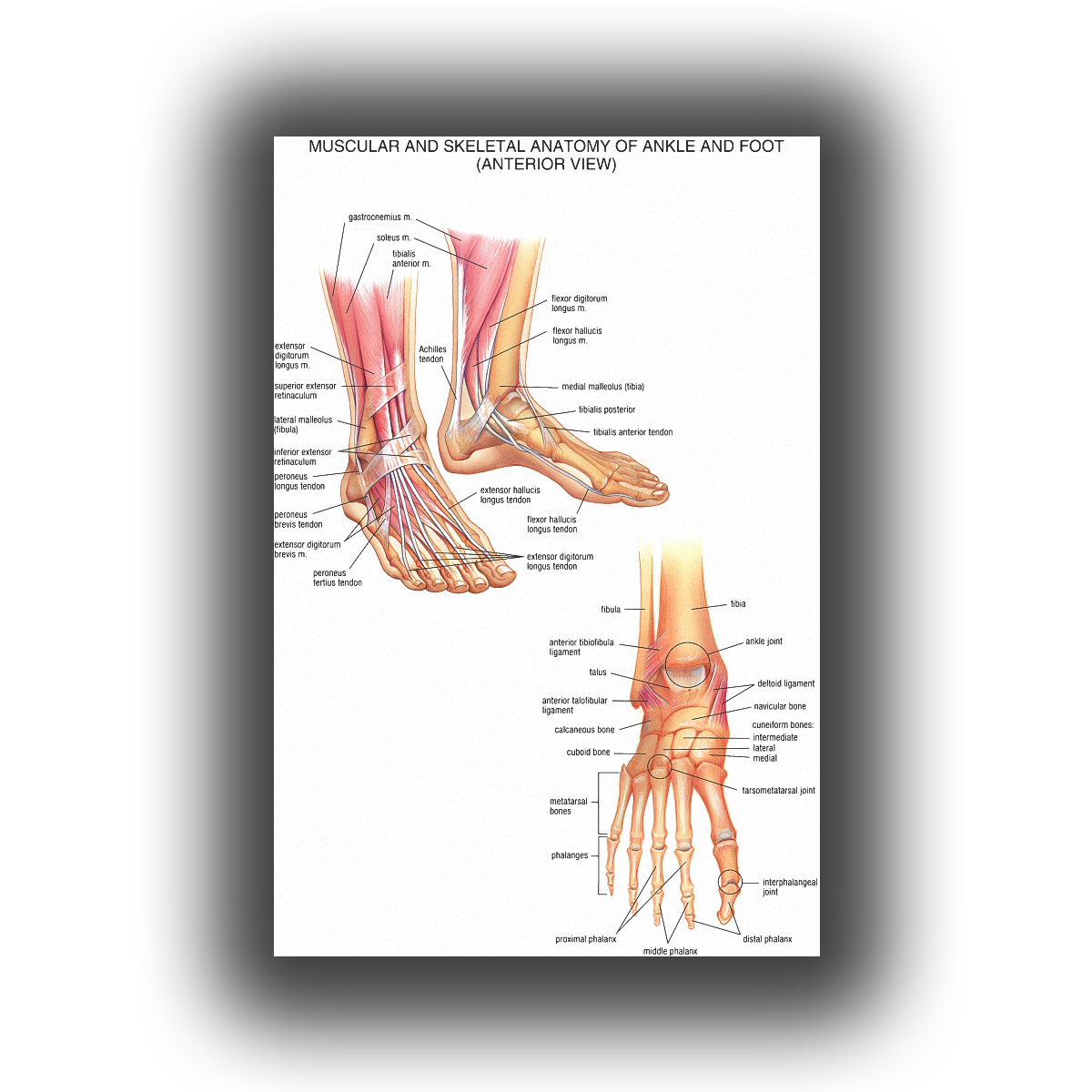 Human Anatomy of the wrist and foot joints medical picture Poster 20x30 inch ...