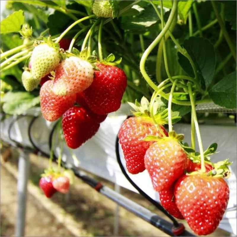 200 шт клубника-, Произвольный выбор, белый, желтый, синий, черный, красный, зеленый-фрукты домашний сад бесплатная доставка