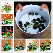 New 2018 Lotus Bonsai Plant, Bowl Seedling Potted Garden Plant Flower plsnt Aquatic 5Pcs/Bag
