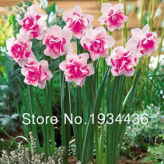 50 Seeds/Pack Bonsai Seeds of Aquatic Plants Double Petals Pink Daffodils Seed for Home Garden