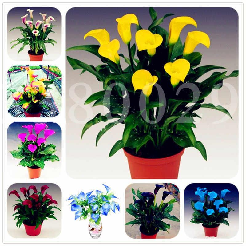 100 pcs Calla Lily Zantedeschia Aethiopica Rizoma de Floração Plantas Bonsai Flores interior Bonsai vasos de plantas Jardim de Casa