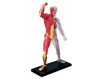 4d modèle d'anatomie musculaire humaine squelette aide à l'enseignement médical puzzle assemblage jouet équipement éducatif de laboratoire