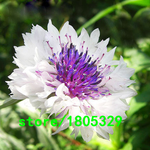 Hot Selling Rare White Cornflower Seeds Balcony Patio Garden Flowers Potted  Bonsai Plant Seeds Centaurea Flowers