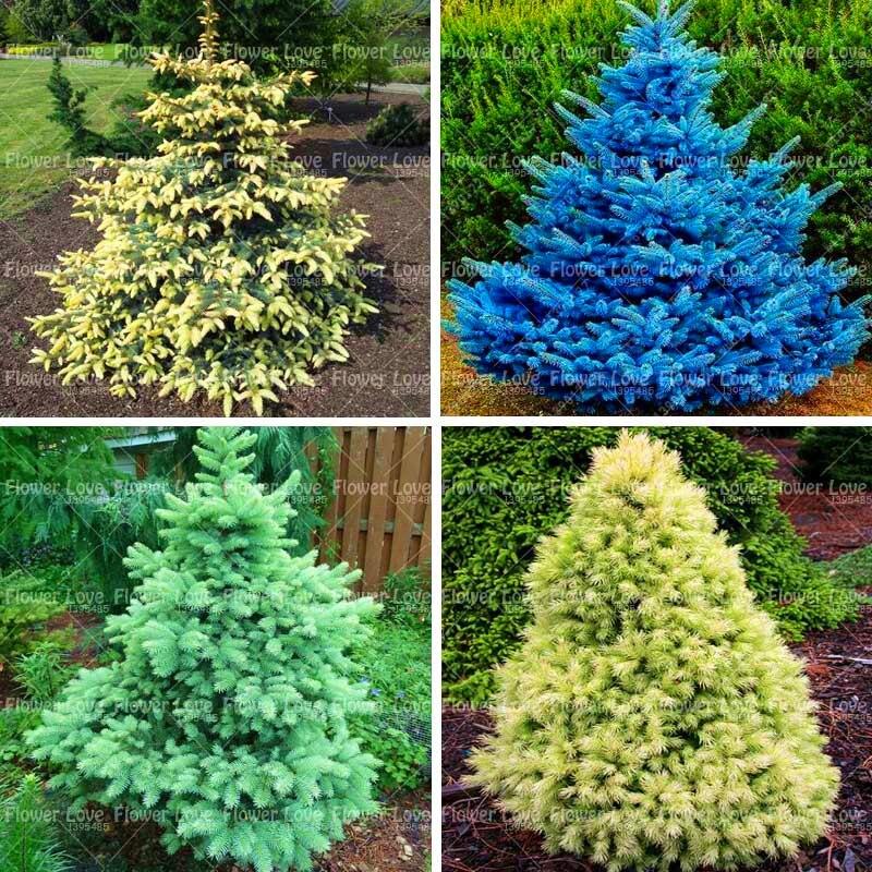 Decorative Blue Spruce : Pcs rare blue spruce tree seeds evergreen picea pungens