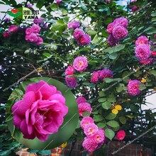 50 pcs/bag dahurian rose flower  red potted plant DIY home garden light up your