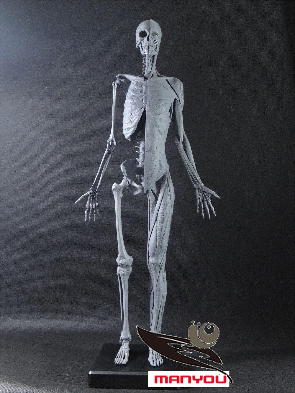 60cm Anatomical skeleton muscle model for Female-in Medical Science ...