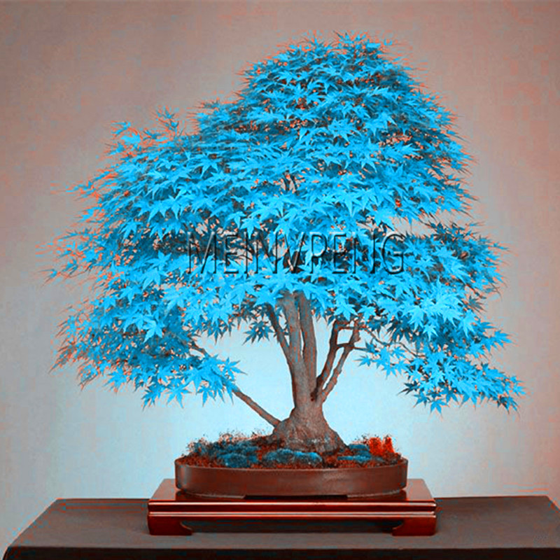 Best-Selling!blue maple tree bonsai Bonsai tree plants. rare sky blue japanese maple Balcony plants for home garden,50flores(China)