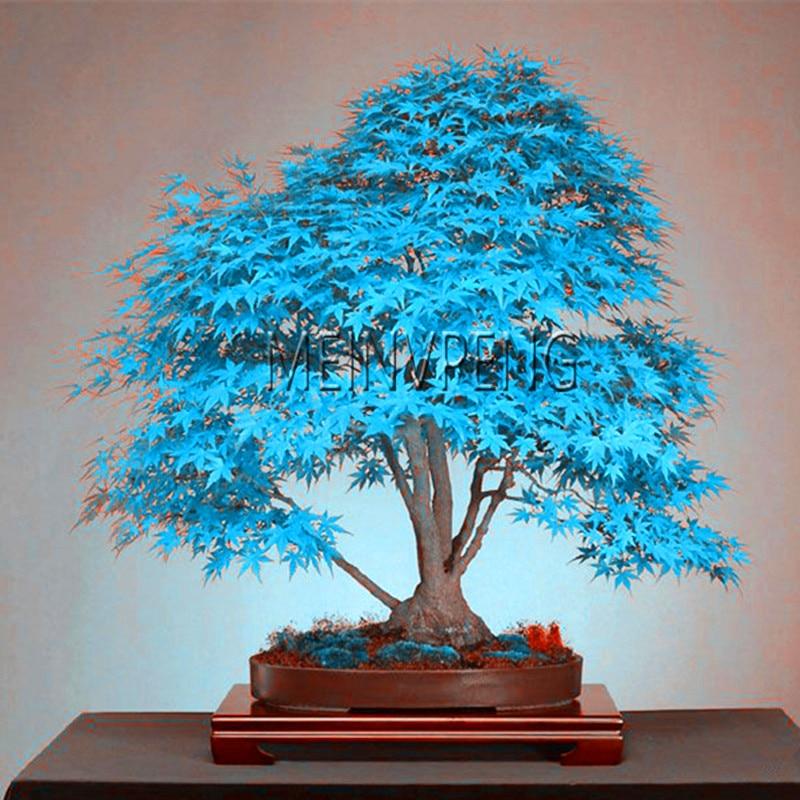 Best Selling Blue Maple Tree Bonsai Bonsai Tree Plants
