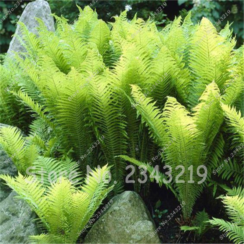 Hot Selling! Rare Flower Fern Seeds, Vines, Climbing Plants, Japanese Ornamental Grass Bonsai Seeds For Home Garden 50 pcs