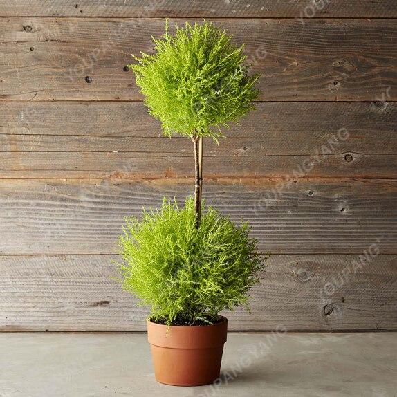 100pcs Blue Cypress Trees plants Rare Platycladus Orientalis Oriental Arborvitae plants Conifer plants DIY Home Garden - 3326-07ba50.jpg